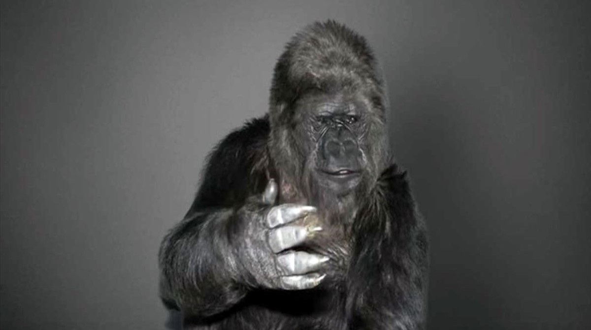 Koko the Gorilla Delivers Powerful Last Message to Humans Before Passing Away