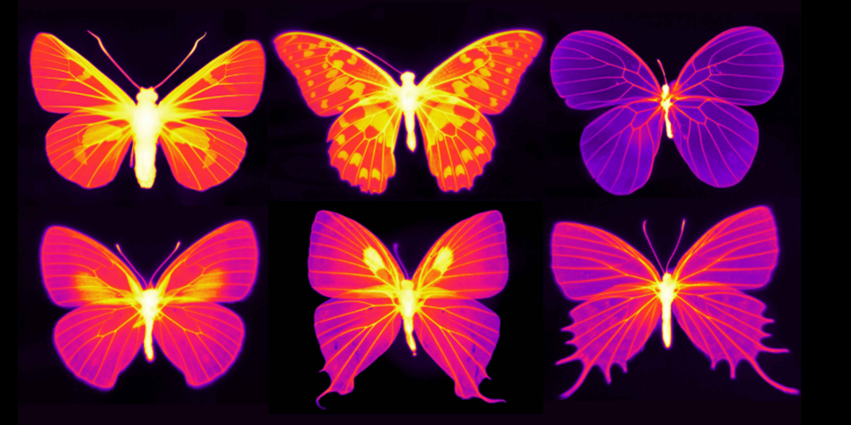 Luminous Infrared Images Show That Butterfly Wings Have Hearts